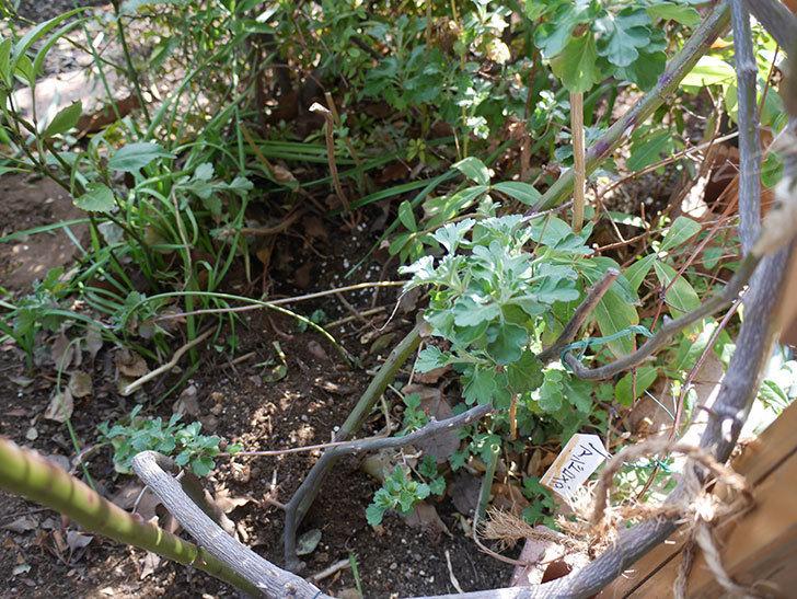 クレパスキュール(ツルバラ)に寒肥を施した。2019年-7.jpg