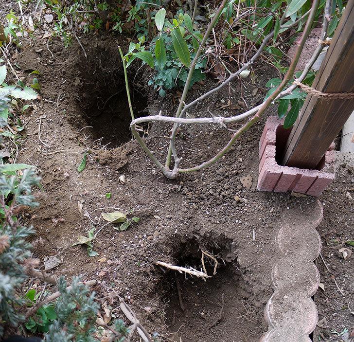 クレパスキュール(ツルバラ)に穴を掘って寒肥をやった。2017年-1.jpg
