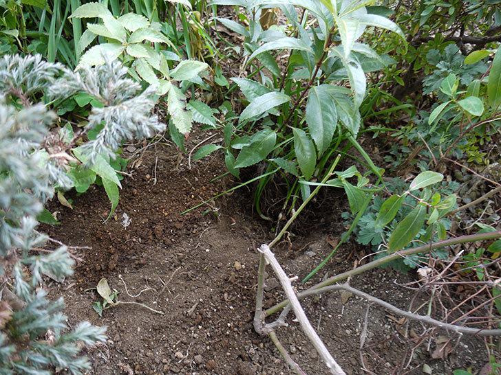 クレパスキュール(ツルバラ)に穴を掘って寒肥をやった。2017年-11.jpg