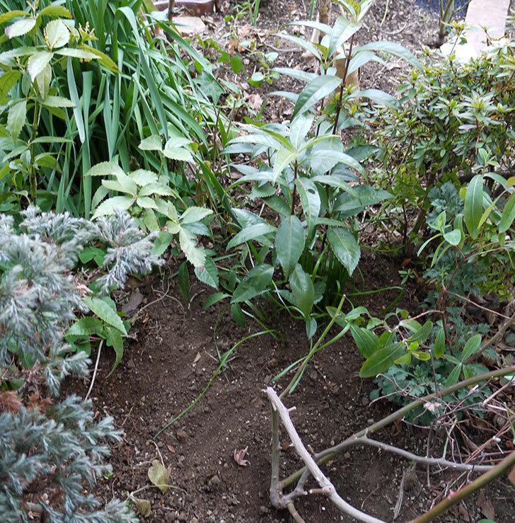 クレパスキュール(ツルバラ)に穴を掘って寒肥をやった。2017年-12.jpg
