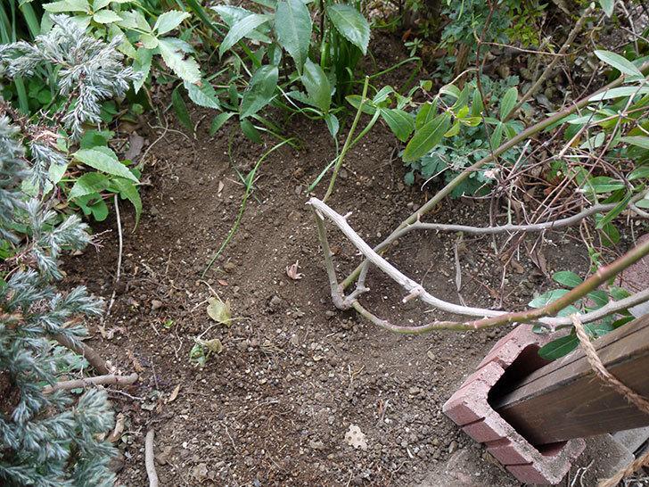 クレパスキュール(ツルバラ)に穴を掘って寒肥をやった。2017年-14.jpg