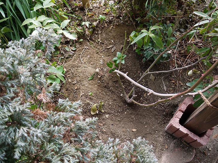 クレパスキュール(ツルバラ)に穴を掘って寒肥をやった。2017年-2.jpg