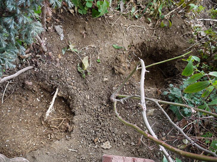 クレパスキュール(ツルバラ)に穴を掘って寒肥をやった。2017年-6.jpg
