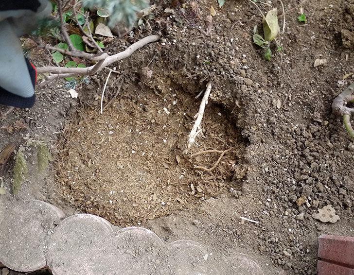 クレパスキュール(ツルバラ)に穴を掘って寒肥をやった。2017年-7.jpg