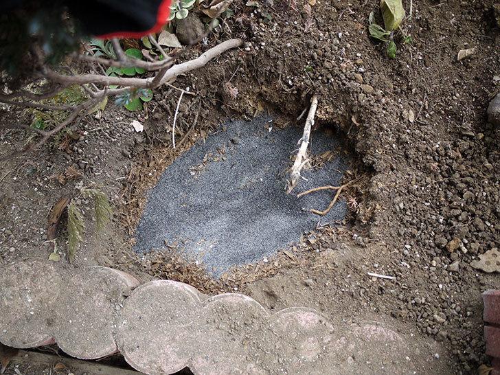 クレパスキュール(ツルバラ)に穴を掘って寒肥をやった。2017年-9.jpg