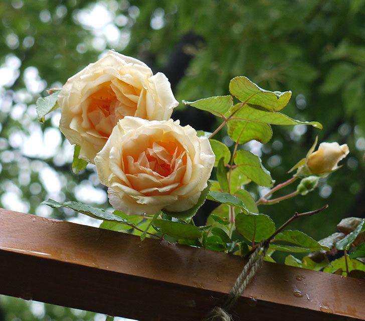 クレパスキュール(ツルバラ)の2番花が咲いた。2017年-1.jpg