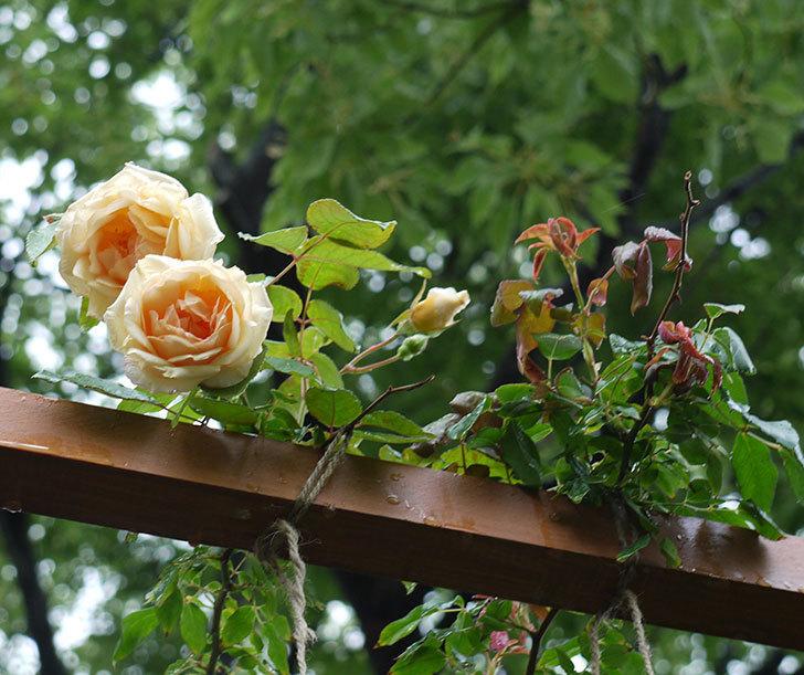 クレパスキュール(ツルバラ)の2番花が咲いた。2017年-2.jpg