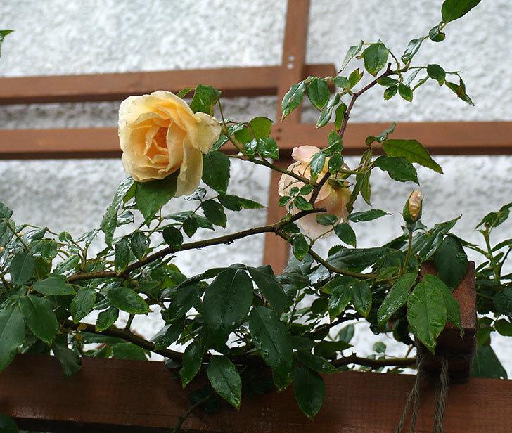 クレパスキュール(ツルバラ)の2番花が咲いた。2017年-4.jpg