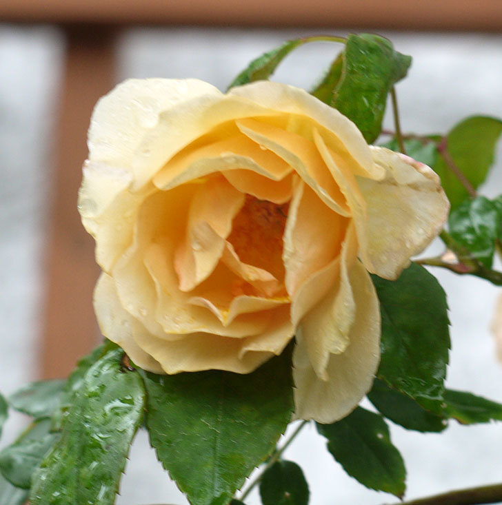 クレパスキュール(ツルバラ)の2番花が咲いた。2017年-5.jpg