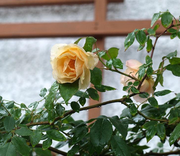 クレパスキュール(ツルバラ)の2番花が咲いた。2017年-6.jpg