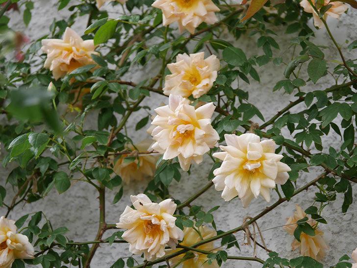 クレパスキュール(ツルバラ)の花がたくさん咲いた。2018年-10.jpg
