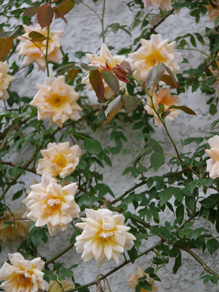 クレパスキュール(ツルバラ)の花がたくさん咲いた。2018年-11.jpg