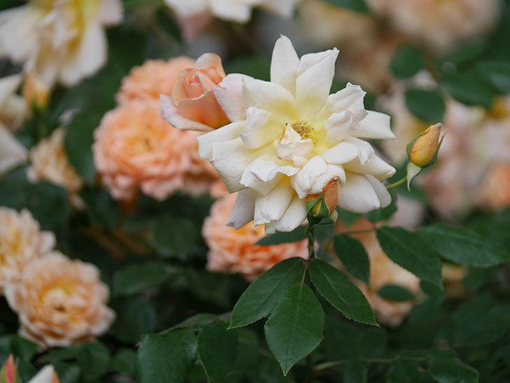 クレパスキュール(ツルバラ)の花がたくさん咲いた。2018年-15.jpg