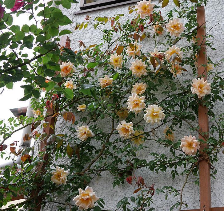 クレパスキュール(ツルバラ)の花がたくさん咲いた。2018年-5.jpg