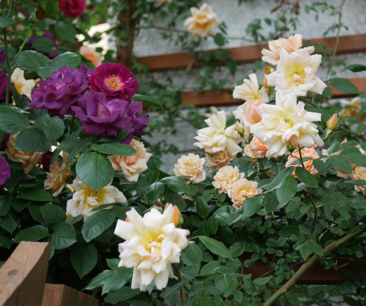 クレパスキュール(ツルバラ)の花がたくさん咲いた。2018年-7.jpg