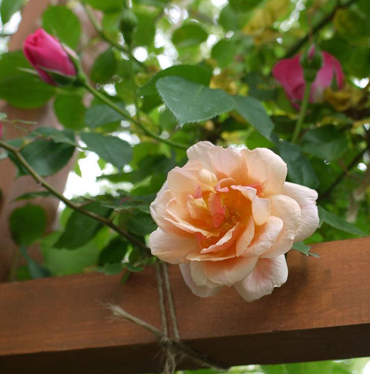 クレパスキュール(ツルバラ)の花が咲いた。2017年-1.jpg