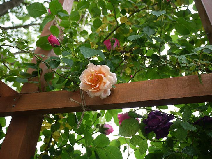 クレパスキュール(ツルバラ)の花が咲いた。2017年-3.jpg