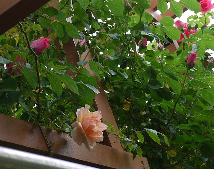 クレパスキュール(ツルバラ)の花が咲いた。2017年-6.jpg