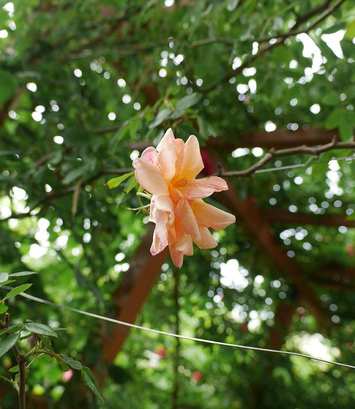 クレパスキュール(ツルバラ)の花が咲いた。2018年-3.jpg