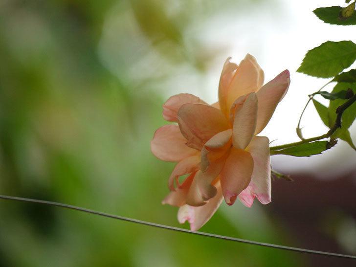クレパスキュール(ツルバラ)の花が咲いた。2018年-6.jpg