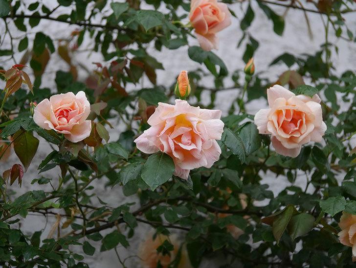 クレパスキュール(ツルバラ)の花が咲いた。2019年-1.jpg