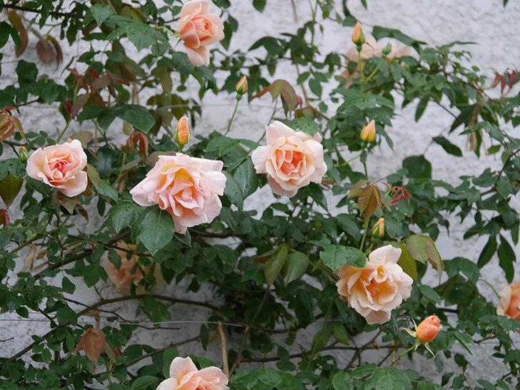 クレパスキュール(ツルバラ)の花が咲いた。2019年-11.jpg