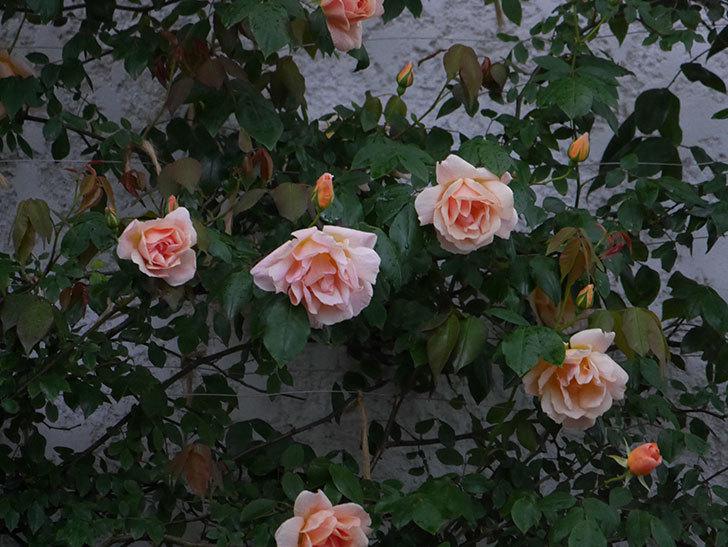 クレパスキュール(ツルバラ)の花が咲いた。2019年-12.jpg
