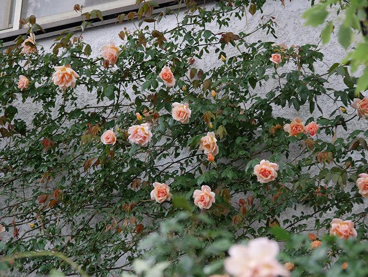 クレパスキュール(ツルバラ)の花が咲いた。2019年-13.jpg