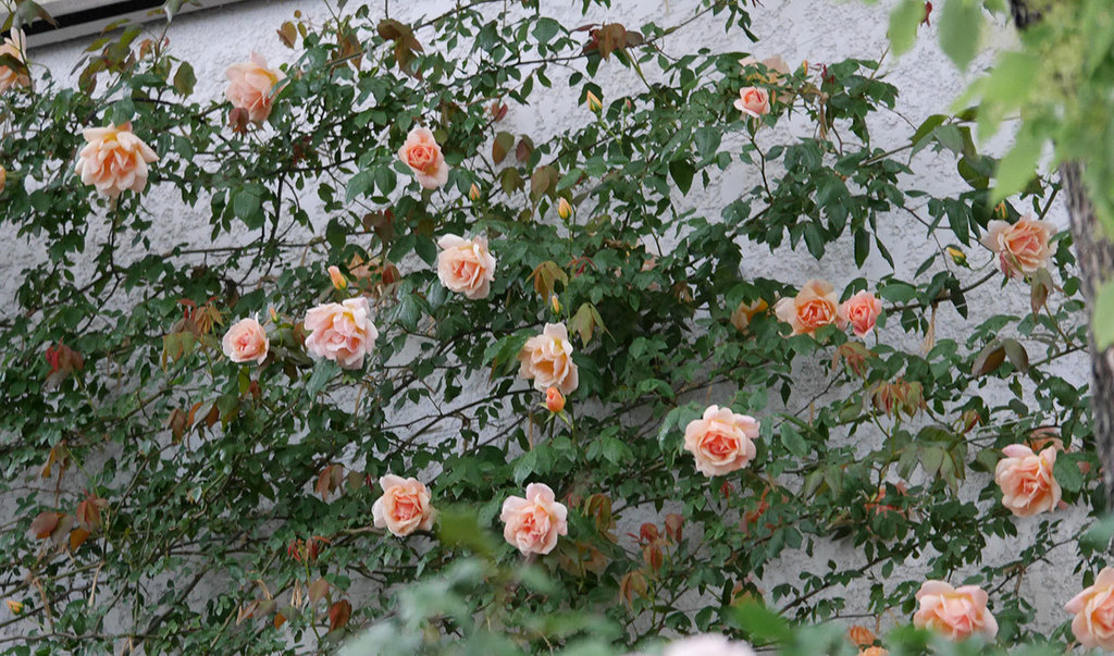 クレパスキュール(ツルバラ)の花が咲いた。2019年-14.jpg