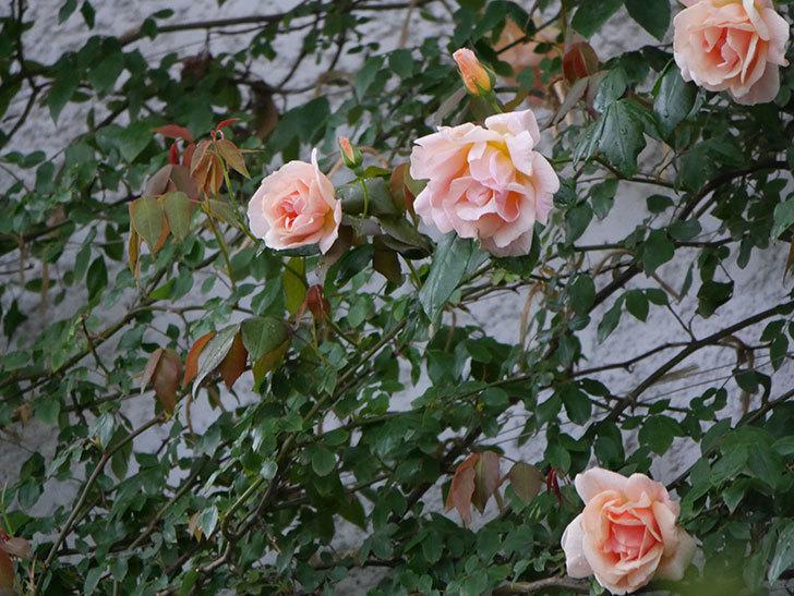 クレパスキュール(ツルバラ)の花が咲いた。2019年-15.jpg
