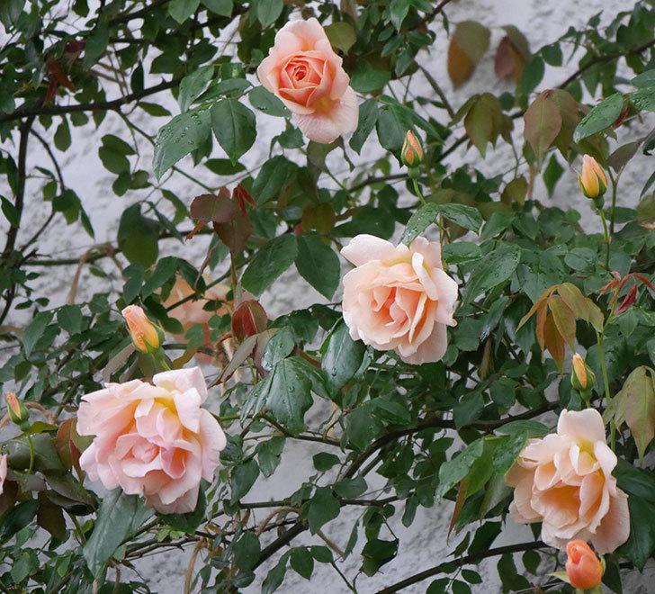 クレパスキュール(ツルバラ)の花が咲いた。2019年-16.jpg
