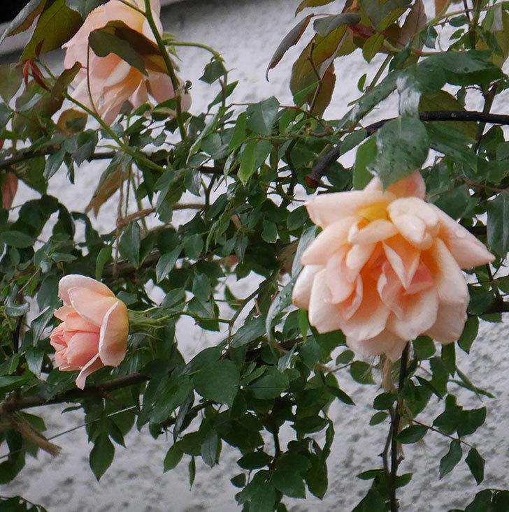 クレパスキュール(ツルバラ)の花が咲いた。2019年-17.jpg