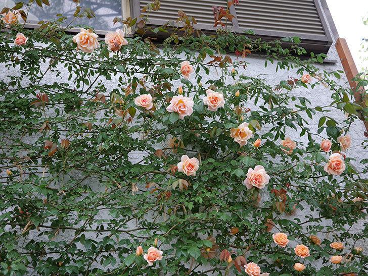 クレパスキュール(ツルバラ)の花が咲いた。2019年-18.jpg