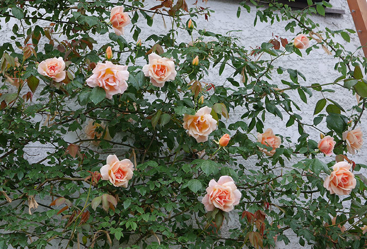 クレパスキュール(ツルバラ)の花が咲いた。2019年-19.jpg