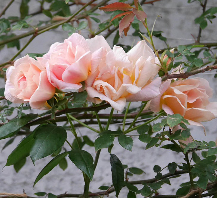 クレパスキュール(ツルバラ)の花が咲いた。2019年-2.jpg
