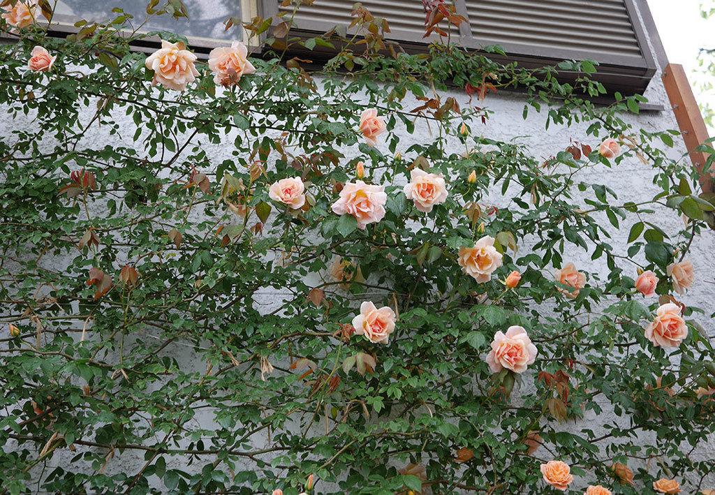 クレパスキュール(ツルバラ)の花が咲いた。2019年-20.jpg