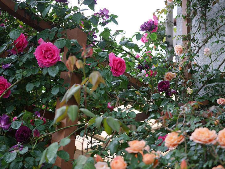 クレパスキュール(ツルバラ)の花が咲いた。2019年-21.jpg