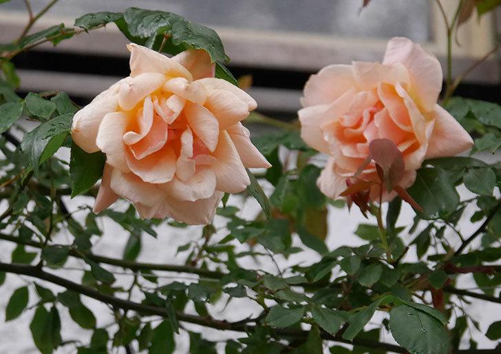 クレパスキュール(ツルバラ)の花が咲いた。2019年-3.jpg