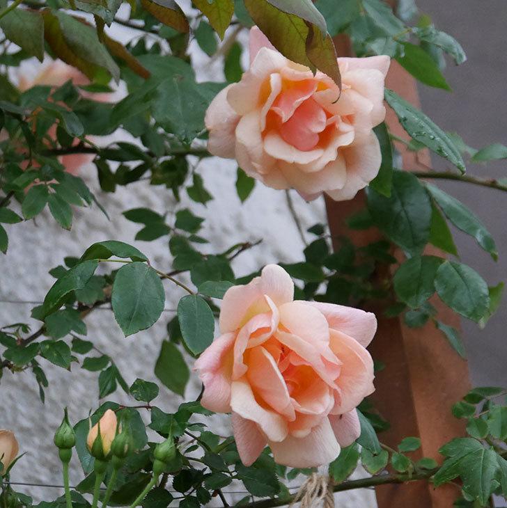クレパスキュール(ツルバラ)の花が咲いた。2019年-4.jpg