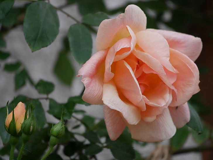 クレパスキュール(ツルバラ)の花が咲いた。2019年-5.jpg
