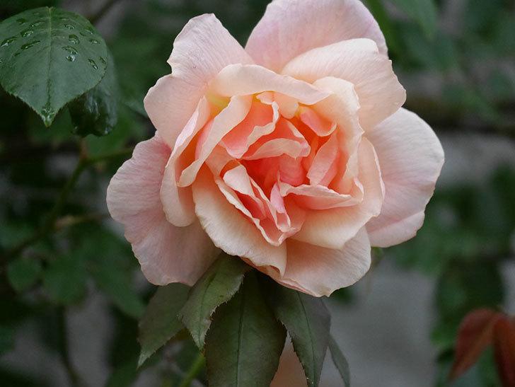 クレパスキュール(ツルバラ)の花が咲いた。2019年-6.jpg