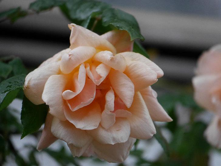 クレパスキュール(ツルバラ)の花が咲いた。2019年-7.jpg