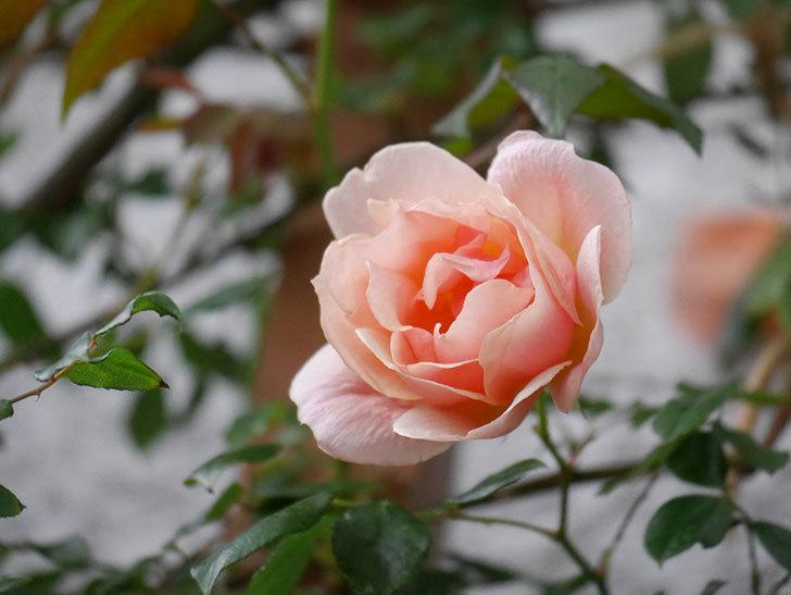 クレパスキュール(ツルバラ)の花が咲いた。2019年-8.jpg