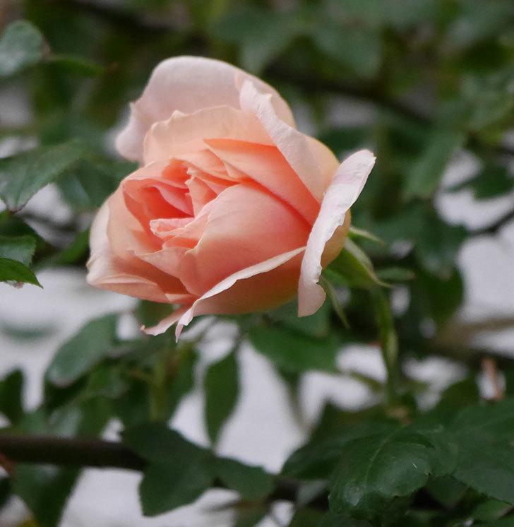 クレパスキュール(ツルバラ)の花が咲いた。2019年-9.jpg