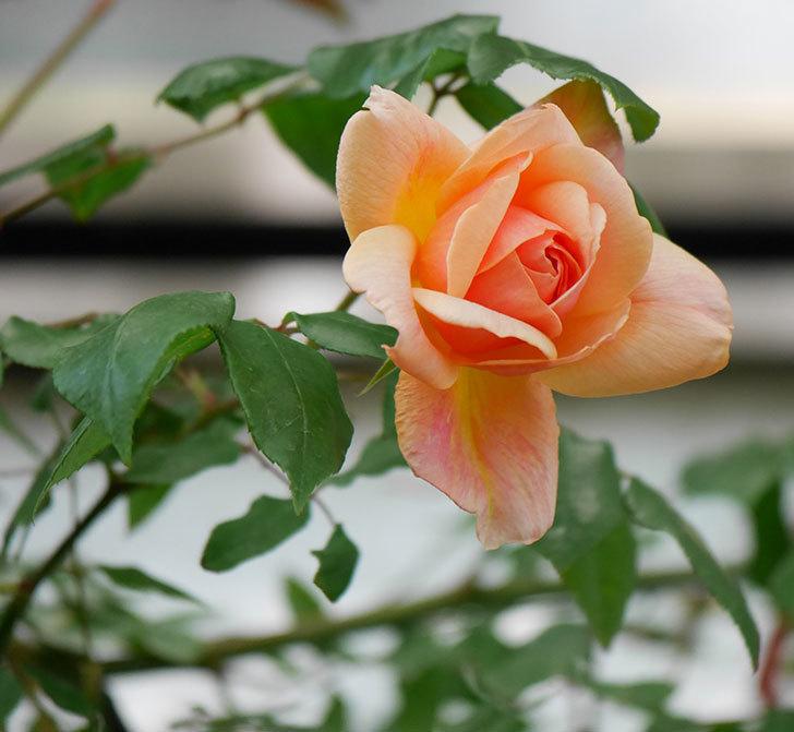 クレパスキュール(ツルバラ)の花が咲きだした。2019年-1.jpg