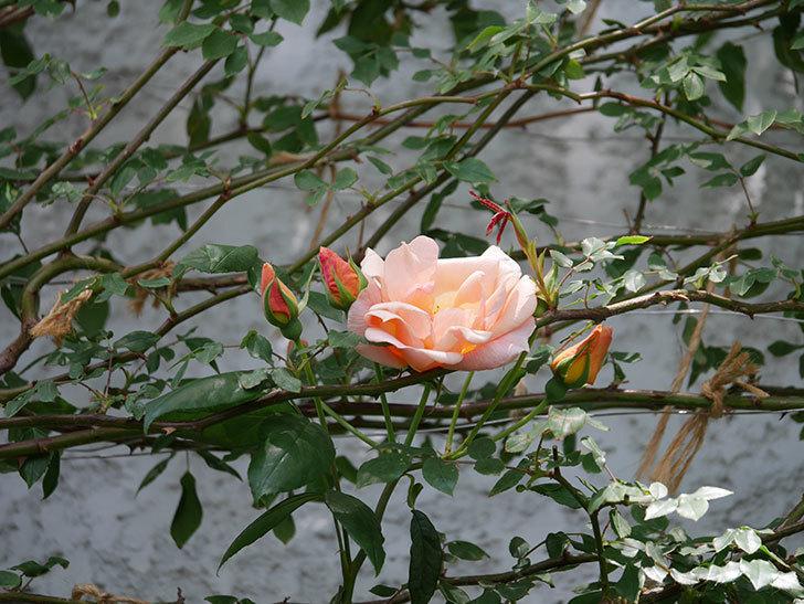 クレパスキュール(ツルバラ)の花が咲きだした。2019年-10.jpg