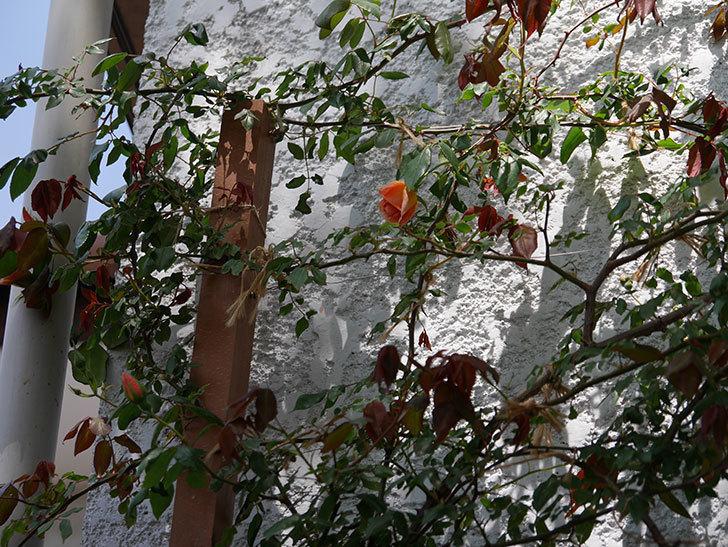クレパスキュール(ツルバラ)の花が咲きだした。2019年-11.jpg