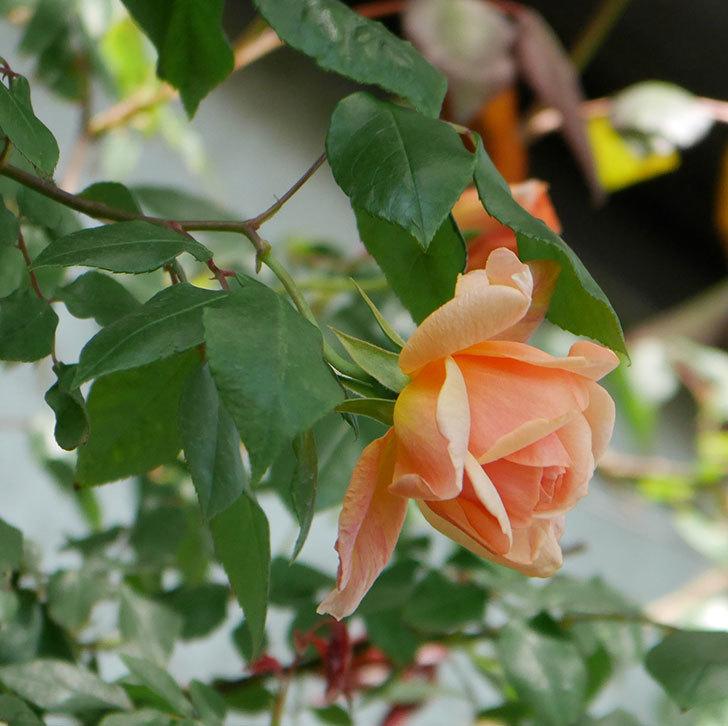 クレパスキュール(ツルバラ)の花が咲きだした。2019年-2.jpg