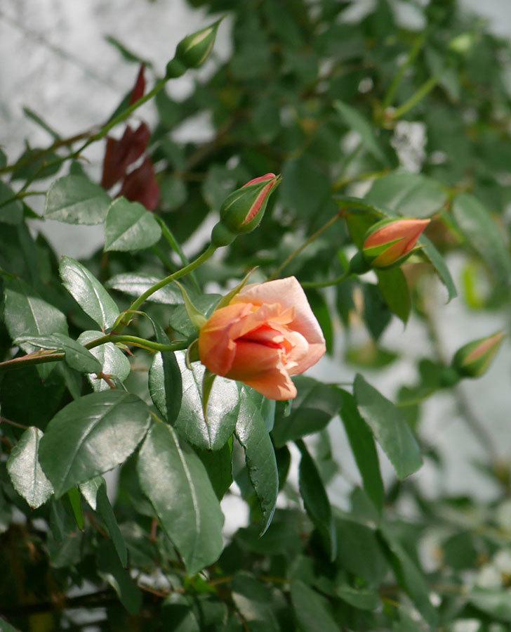 クレパスキュール(ツルバラ)の花が咲きだした。2019年-3.jpg