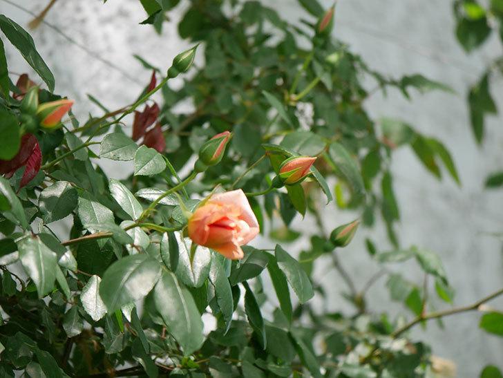 クレパスキュール(ツルバラ)の花が咲きだした。2019年-4.jpg